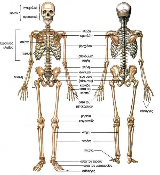 Οστά του ανθρώπινου σκελετού